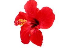 Roter Hibiscus China stieg Lizenzfreies Stockfoto