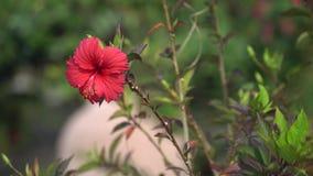 Roter Hibiscus in der natürlichen Umwelt stock footage