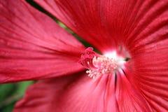 Roter Hibiscus, Nahaufnahme auf Mitte-Details lizenzfreie stockfotografie