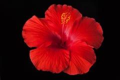 Roter Hibiscus-Schwarz-Hintergrund Stockbild