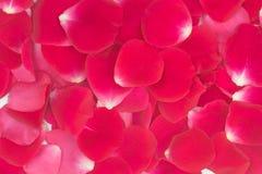 Roter Hintergrund der rosafarbenen Blumenblätter lizenzfreies stockfoto