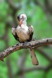 Roter Hornbill, der in Kruger-Park sich pflegt lizenzfreie stockfotos
