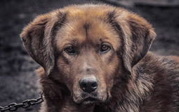 Roter Hund Stockfoto
