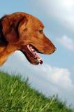 Roter Hund Stockfotos