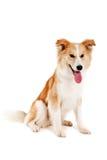 Roter Hund auf Weiß Stockfotografie