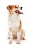 Roter Hund auf Weiß Lizenzfreies Stockbild