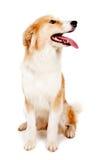 Roter Hund auf Weiß Stockbild