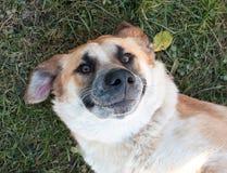 Roter Hund, der auf dem Gras liegt Stockfotos