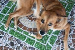 Roter Hund, der auf der Bodenfarbe liegt und die Kamera betrachtet Lizenzfreie Stockfotos