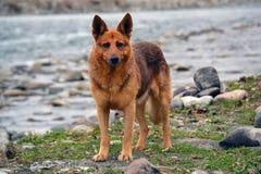 Roter Hund, der auf der Flussbank steht stockbild