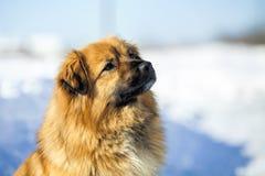 Roter Hund, der auf Schnee sitzt Stockfotos