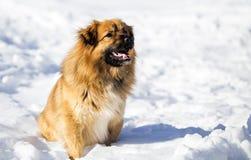 Roter Hund, der auf Schnee sitzt Stockfoto