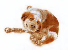 Roter Hund, der die Kamera betrachtet Lizenzfreies Stockfoto