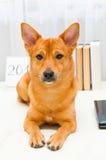 Roter Hund, der weise auf Hintergrund mit Büchern sitzt lizenzfreie stockfotos