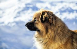 Roter Hund des Porträts auf dem Schneehintergrund Stockfotografie