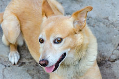 Roter Hund des Porträts, der aus den Grund liegt lizenzfreies stockfoto
