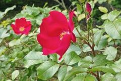 Roter Hund stieg, Blume und Blätter Lizenzfreies Stockbild
