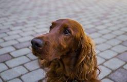 Roter Hundirischer Setter schaut nah, dass sie ihr sagen stockfoto