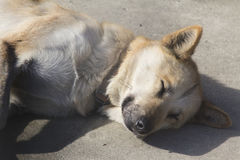 Roter Husky Sled Dog Stockfoto