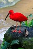 Roter IBIS-Vogel nahe dem Wasser Stockfotografie