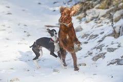 Roter Irischer Setter auf Schnee im Winter Lizenzfreie Stockfotografie