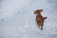 Roter Irischer Setter auf Schnee im Winter Stockfoto