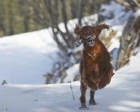 Roter Irischer Setter auf Schnee im Winter Lizenzfreies Stockfoto