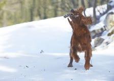 Roter Irischer Setter auf Schnee im Winter Stockfotografie