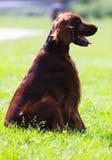 Roter Irischer Setter, der auf Gras sitzt Lizenzfreies Stockfoto