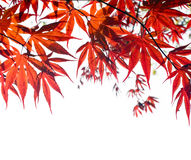 Roter japanischer Ahornblatthintergrund auf Weiß. Lizenzfreies Stockfoto