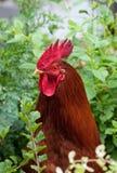 Roter junger Hahn in der Vegetation Stockfotos