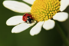 Roter Käfer Lizenzfreies Stockfoto