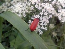 Roter Käfer Stockfotos