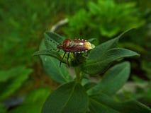 Roter Käfer Lizenzfreie Stockbilder