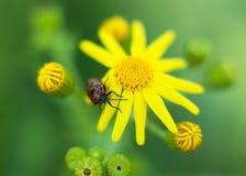 Roter Käfer mit gelber Blume Stockfotografie