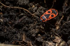 Roter Käfer mit schwarzen Flecken Lizenzfreies Stockbild