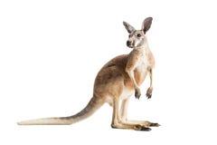 Roter Känguru auf Weiß Stockbilder