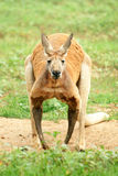 Roter Känguru, der Kamera betrachtet. Lizenzfreies Stockbild