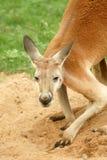 Roter Känguru, der Kamera betrachtet Stockfoto