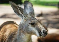 Roter Känguru, Macropus Rufus Stockfoto