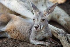 Roter Känguru, Macropus Rufus Stockfotografie