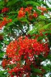 Roter königlicher Poinciana Baum Lizenzfreie Stockfotografie