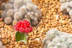 Roter Kaktus lizenzfreies stockbild
