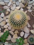 Roter Kaktus Stockfoto