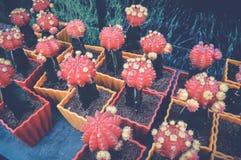 Roter Kaktus Stockfotografie