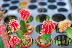 Roter Kaktuspflanzeabschluß oben stockbild