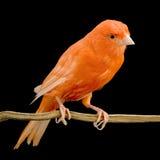 Roter Kanarienvogel auf seiner Stange Lizenzfreie Stockfotos