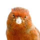Roter Kanarienvogel auf seiner Stange Lizenzfreie Stockbilder