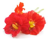 Roter Kapuzinerkäse mit Blättern Lizenzfreie Stockfotos