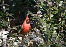 Roter Kardinal stockfoto